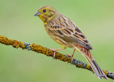 Classic good shot of Male Yellowhammer (emberiza citrinella) perched on lichen covered branch with clean green background