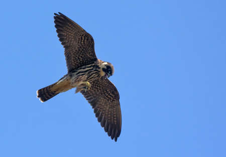 Adult Eurasian hobby (Falco subbuteo) flying with dragonfly catched in claws