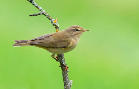 Common chiffchaff (Phylloscopus collybita) posing on small dry twig in autumn time with clean green background Stock Photo