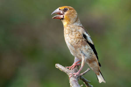 Young hawfinch (coccothraustes coccothraustes) perched on a dry twig with open beak and clean background