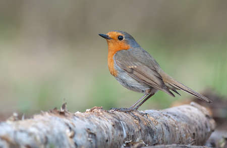 Adult European robin (erithacus rubecula) early spring posing on an old birch stock with sweet light 免版税图像