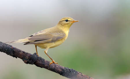 Willow warbler (phylloscopus trochilus) perched on old dry branch with clean and warm background colors 免版税图像
