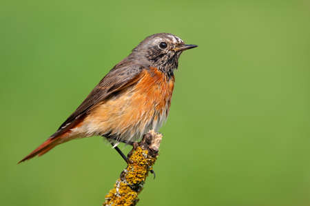 Common redstart (phoenicurus phoenicurus) perched on small lichen stick with clean green background