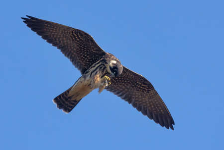 Adult Eurasian hobby (Falco subbuteo) eats in soaring flight his catched dragonfly