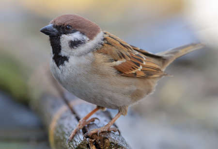 Eurasian tree sparrow (passer montanus) posing for a very close and tight portrait shot 免版税图像
