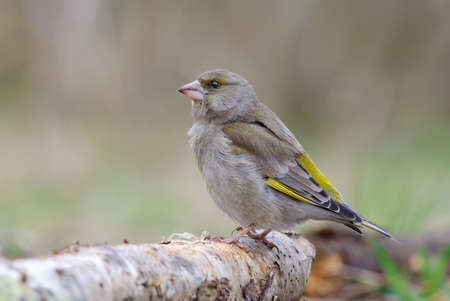 Female European Greenfinch (Chloris chloris) sitting on an old birch stock with sweet light in early spring 免版税图像