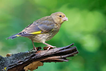 Young European Greenfinch (Chloris chloris) sitting on dry old looking branch with clean green background