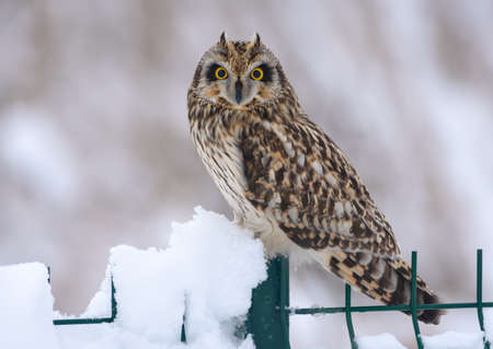 Rare wintering Short-eared owl (asio flammeus) perched on snowy fence 免版税图像