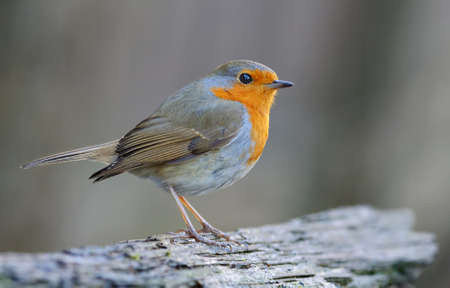 Adult European robin (erithacus rubecula) posing on an old stock with sweet dusk light