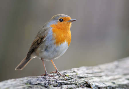 Adult European robin (erithacus rubecula) stands on a dry treee log in dim light