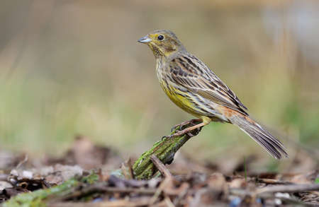 Female Yellowhammer (emberiza citrinella) sits perched on a small twig near the ground in wood 免版税图像