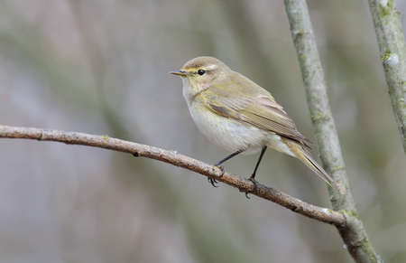 Common chiffchaff (Phylloscopus collybita) posing on small dry twig in early spring time with clean gray background 免版税图像