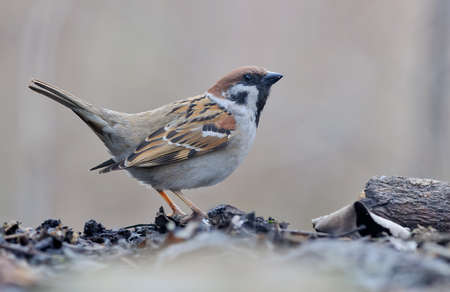 Eurasian tree sparrow (passer montanus) courtship and lekking display with lifted tail