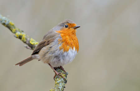 European robin (Erithacus rubecula) posing on a lichen branch with light and clean pale background