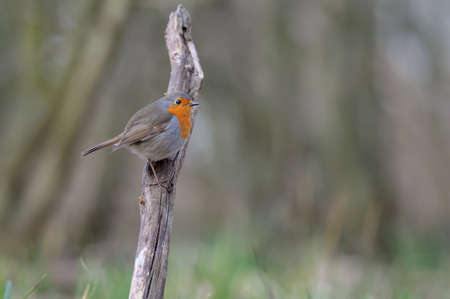 Adult European robin (Erithacus rubecula) posing on an upright stick with sweet dusk light