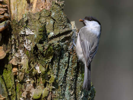 Willow tit (poecile montanus) posing with building material on tree bark near the nest at spring 免版税图像