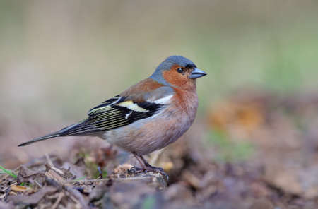 Male Common Chaffinch (fringilla coelebs) posing near the ground in clear spring wood