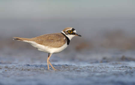 Little ringed plover (Charadrius dubius) stands amid wet muddy land with sweet evening light 免版税图像