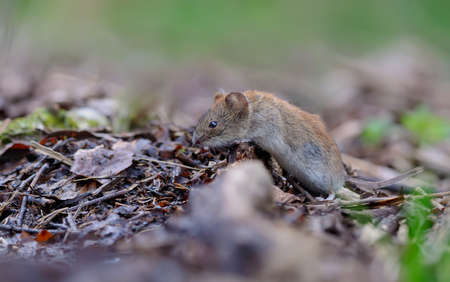 Bank vole (myodes glareolus) crawling over old deadwood branch and leaves on summer forest floor 免版税图像