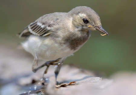 Actively running young White Wagtail (motacilla alba) close portrait with a small worm in the beak