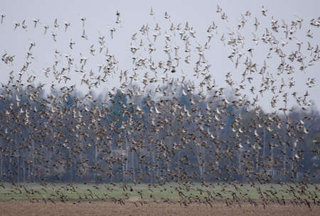 Huge flock of Ruffs (Philomachus pugnax) fly and take down over agro field during spring migration