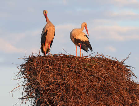 Family couple of male and female White storks (Ciconia ciconia) enjoy each other company on the nest in the morning Reklamní fotografie