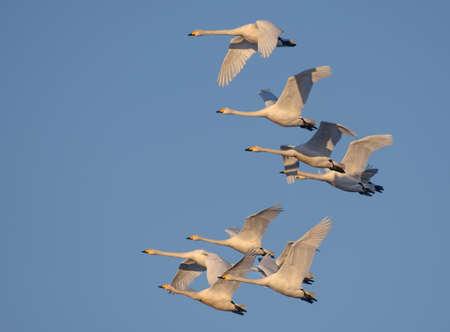 Big flock of adult Whooper swans (Cygnus cygnus) fly together in blue morning sky