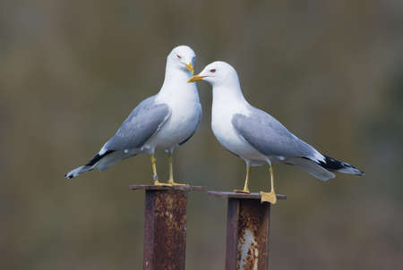 Pair of family of male and female common gulls (Larus canus) caring for each other on the nest territory in breeding season Reklamní fotografie
