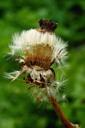 aging: Aging dandelion
