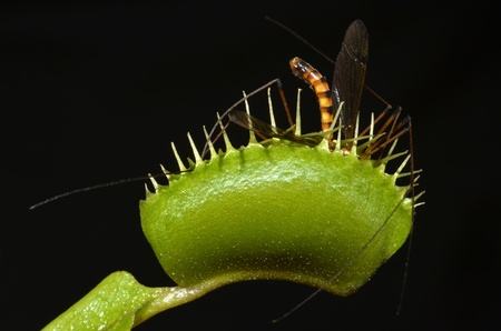 CARNIVOROUS PLANT ENTRAP CRANE FLY IN HER JAWS photo