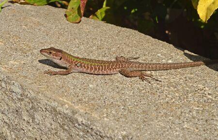 lizard in field: Lagartija BAJO EL SOL