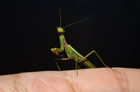 portrait of mantis on the finger Stock Photo - 13189590