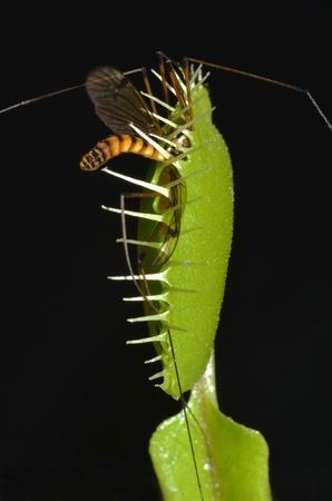 entrap: carnivorous plant entrap giant mosquito