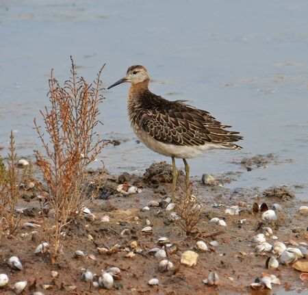 portrait of sandpiper in the marsh photo