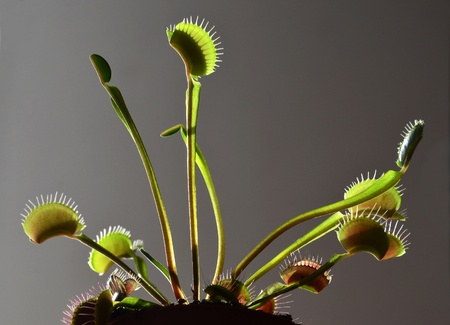 marsh plant: carnivorous plant dionaea venus Stock Photo