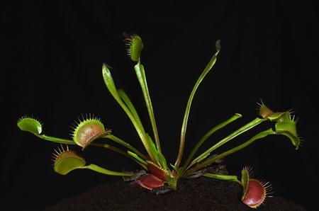 insectivorous plants: tropical carnivorous plant species dionaea  Stock Photo