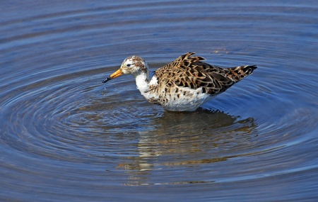 sandpiper bathing in the marsh Stock Photo - 13189691