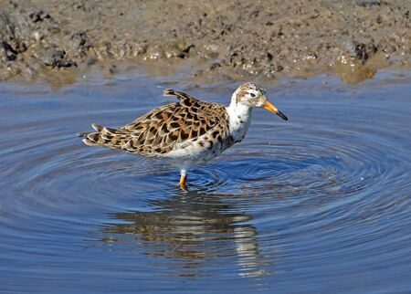 portrait of sandpiper bathing in amrsh Stock Photo - 13189690