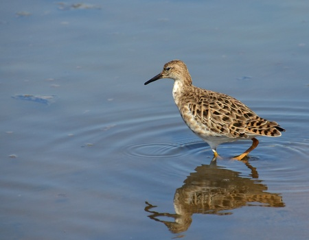 profile of sandpiper searched in the marsh photo
