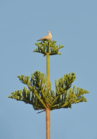 little turtledove perched on araucaria chilensis tree photo