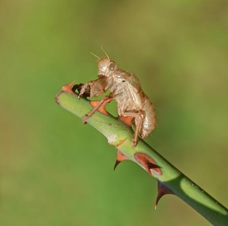 rose stem: closeup of cicada chrysalis on rose stem