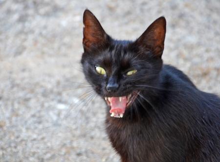 mammalian: angry black cat