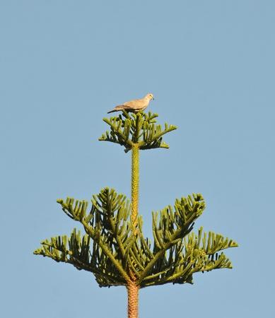 turtle dove: turtle dove perched on araucaria tree