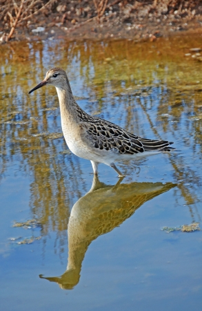 sandpiper in the marsh photo