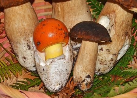 closeup di funghi commestibili funghi porcini e a forma di uovo Archivio Fotografico - 15532362