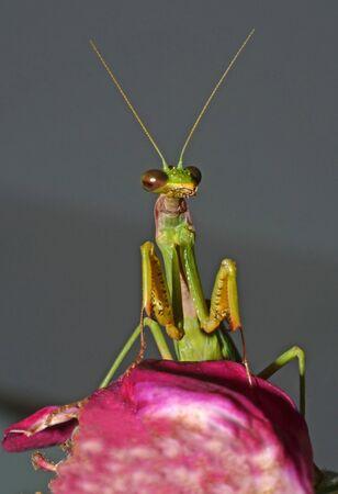 mantis: portrait of praying mantis on flower Stock Photo