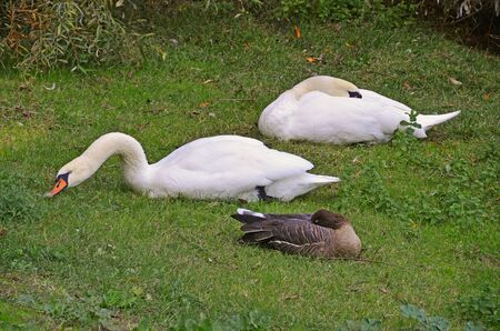 swans and goose rested in the grass photo