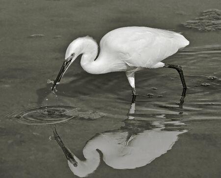 heron that take fish with  bill photo