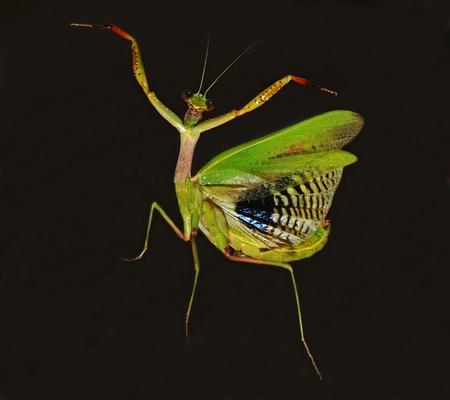 mantis: praying mantis dancing on black background Stock Photo