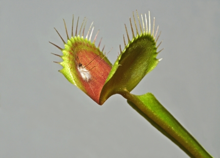 insectivorous: leaf of carnivorous plant with digested mosquito Stock Photo